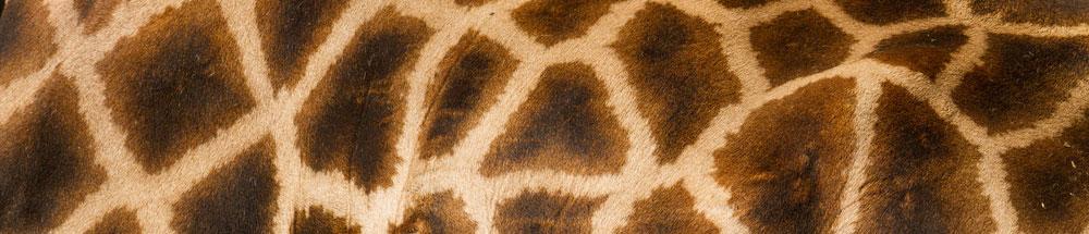 giraffe banner