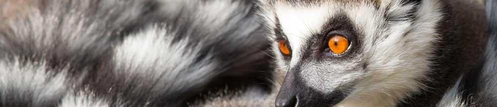 lemur banner