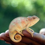 Juvenile chameleon (Furcifer verrucosus)